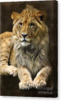 The Young Lion Canvas Print by Angela Doelling AD DESIGN Photo and PhotoArt