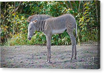 The Zebra Foal Edition 2 Canvas Print by Judy Kay
