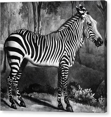 The Zebra Canvas Print by George Stubbs