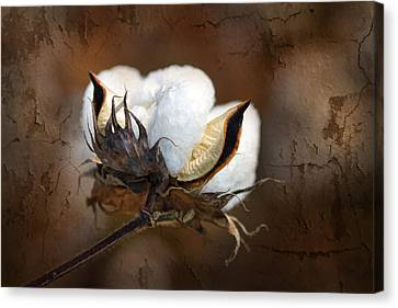 Them Cotton Bolls Canvas Print by Kathy Clark