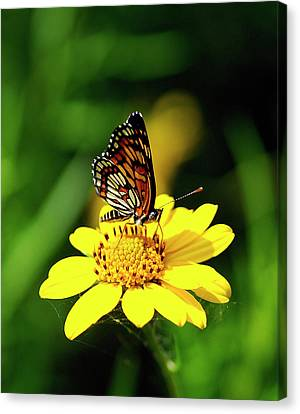 Theona Checkerspot Canvas Print by Bill Morgenstern
