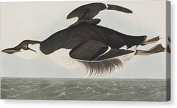 Thick-billed Murre Canvas Print