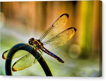 Iridescent Wings  Canvas Print by Olahs Photography
