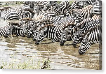 Thirsty Zebras Canvas Print by Pravine Chester
