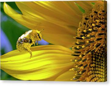 This Bee Needs A Bath Canvas Print by David Freuthal