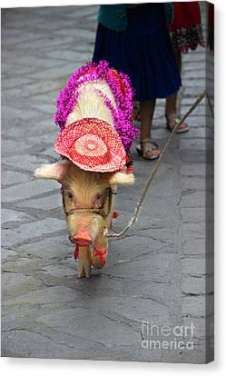 This Little Piggy Went To The Market Canvas Print by Al Bourassa
