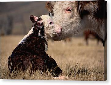 Hereford Canvas Print - This Young Hereford Was Born by Sam Abell