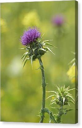 Thistle And Mustard Canvas Print by Doug Herr