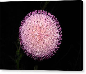 Thistle Bloom At Night Canvas Print