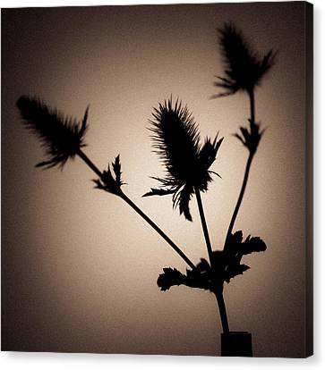 Asteraceae Canvas Print - Thistle by Dave Bowman