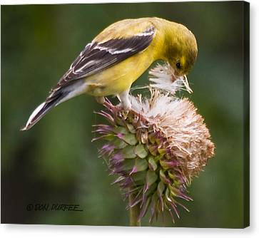 Canvas Print featuring the photograph Thistle Seed Gathering by Don Durfee