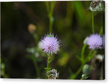 Thistles Morning Dew Canvas Print by Christopher L Thomley
