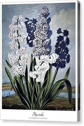 Thornton: Hyacinths Canvas Print by Granger