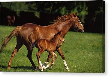 Thoroughbred Chestnut Mare & Foal Canvas Print by The Irish Image Collection