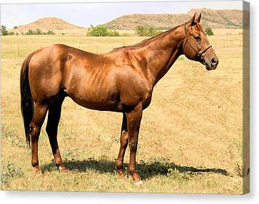 Thoroughbred From Right Side Canvas Print by Cheryl Poland