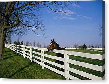 Thoroughbred Horse Lexington Ky Canvas Print by Panoramic Images