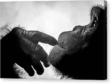 Thoughtful Chimpanzee Canvas Print
