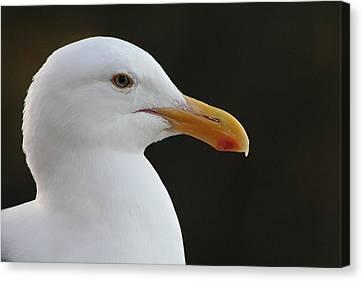 Thoughtful Gull Canvas Print