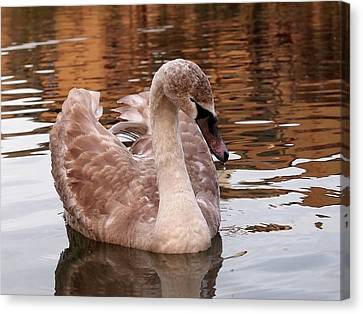 Thoughtful - Juvenile Mute Swan Canvas Print by Gill Billington