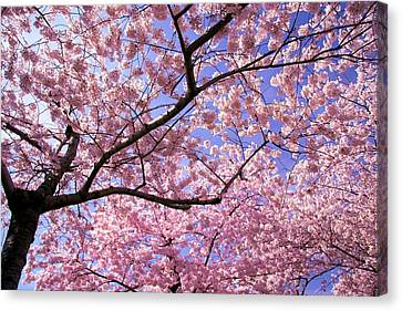 Cherry Tree Canvas Print - Thoughts by Mitch Cat