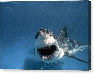 Threatened Great White Shark, Toothy Canvas Print