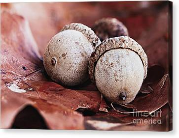 Canvas Print featuring the photograph Three Acorns And Autumn Oak Leaves by Stephanie Frey