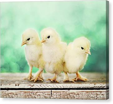 Three Amigos Canvas Print by Amy Tyler