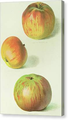 Apple Canvas Print - Three Apples by English School