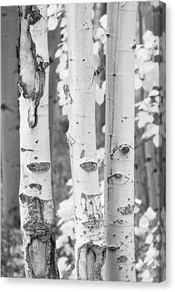 Three Aspens In Black And White  Canvas Print by James BO  Insogna