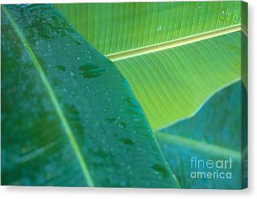 Three Banana Leaves Canvas Print by Dana Edmunds - Printscapes