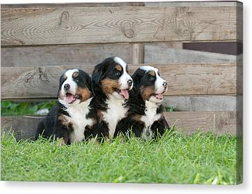 Three Bernese Mountain Dog Puppies Portrait Canvas Print by Waldek Dabrowski