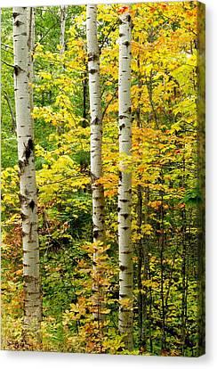 Three Birch Canvas Print