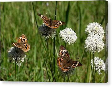 Three Buckeye Butterflies On Wildflowers Canvas Print by Sheila Brown