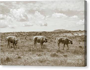 Canvas Print featuring the photograph Three Buffalo Calves by Rebecca Margraf