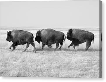 Three Buffalo In Black And White Canvas Print by Todd Klassy