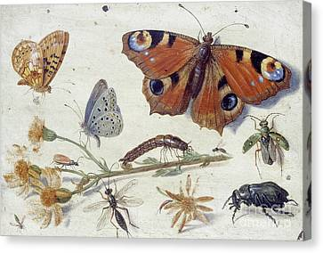 Nature Study Canvas Print - Three Butterflies, A Beetle And Other Insects, With A Cutting Of Ragwort  by Jan Van Kessel