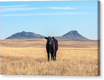 Three Buttes Steer Canvas Print by Todd Klassy