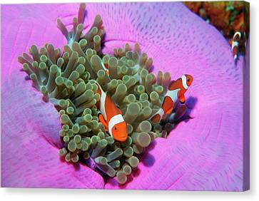 Three Clown Fishes On Sea Anemone, Andaman Sea, Thailand Canvas Print by Georgette Douwma