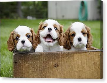 Three Cocker Spaniels Peeking Canvas Print