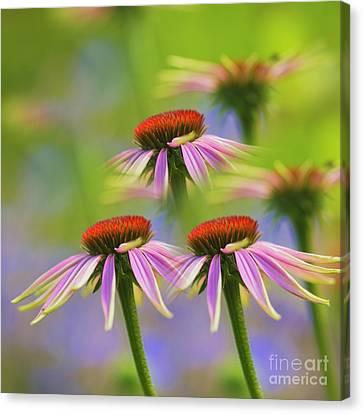 Three Coneflowers Canvas Print by Veikko Suikkanen