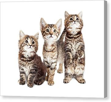Three Curious Tabby Kittens Together On White Canvas Print by Susan Schmitz