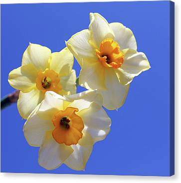 Canvas Print featuring the photograph Three Daffodils by Judy Vincent