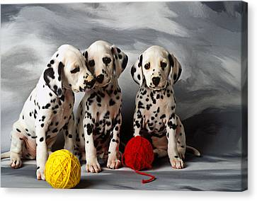 Three Dalmatian Puppies  Canvas Print by Garry Gay