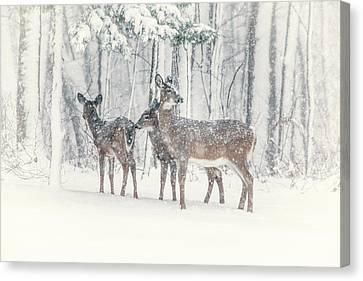 Three Deer Come Calling Canvas Print by Karol Livote