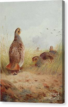 Three English Partridges Canvas Print