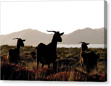 Canvas Print featuring the photograph Three Goats by Pedro Cardona