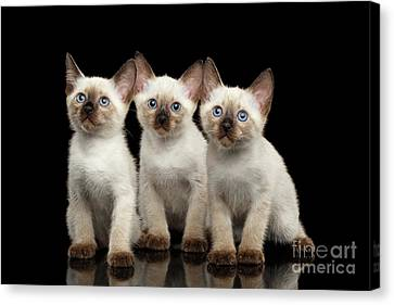 Three Kitty Of Breed Mekong Bobtail On Black Background Canvas Print by Sergey Taran