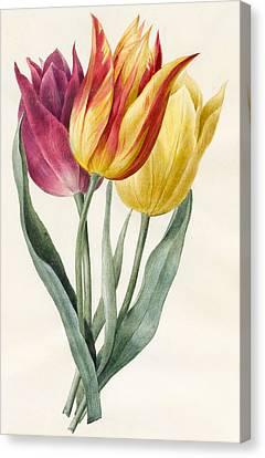 Three Lily Tulips  Canvas Print