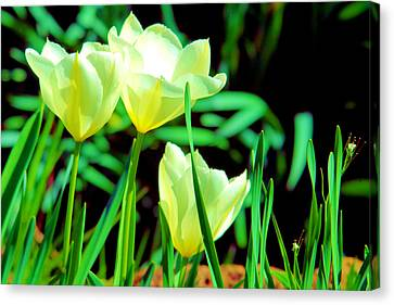 Three Little Beauties In A Spring Wind Canvas Print