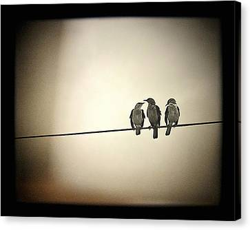 Three Little Birds Canvas Print by Trish Mistric